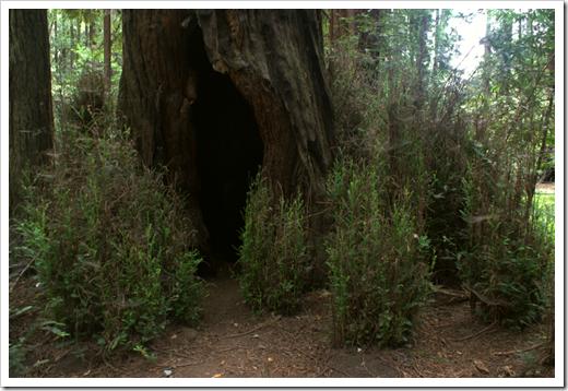Redwood Blitzeinschlag